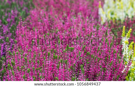 White, pink and purple erica, calluna or heather at the morning market