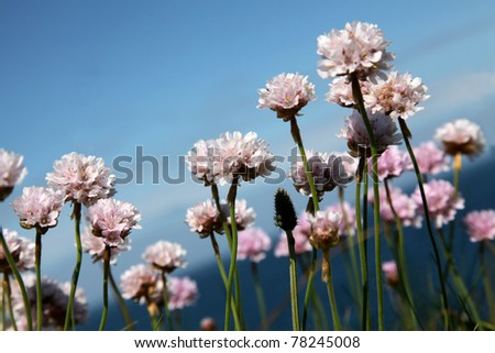 White/pink flower of the Thrift  - Armeria maritima