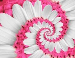 White pink flower swirl daisy kosmeya flower spiral abstract fractal effect pattern fractal background Twisted tender pink pastel flower spiral. Distorted surreal flower floral white pink background