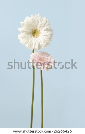 white & pink gerber daisy - like mother & child - on blue background