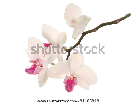 White-Pink Orchid