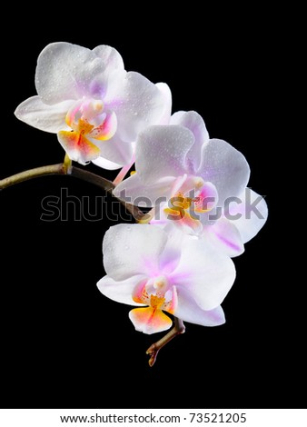 white pink orchid  on the black background