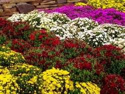 White, pink, red or yellow chrysanthemum plants in flower shop. Bushes of burgundy chrysanthemums garden or park outdoor. Chrysanthemum flower with leaves pattern colorful floral background as card
