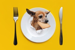 White plate with knife and fork on a yellow background. The head of a Toy Terrier dog with a cookie in its teeth appears in a ragged hole. Good appetite, animal restaurant concept.