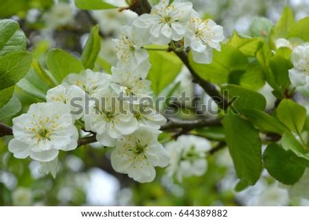 White plum flowers spring landscape garden ez canvas white plum flowers spring landscape garden mightylinksfo