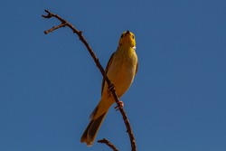 White-plumed Honeyeater perched in Australia
