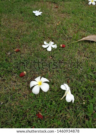 White plumeria floรwers and red palm fruits fall on green grass ground #1460934878