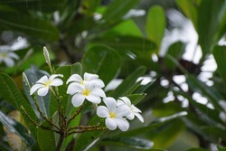 White plumeria flowers. Plumeria flowers bloom on trees during the rainy season. The purity of white plumeria flowers Is a tropical flower.