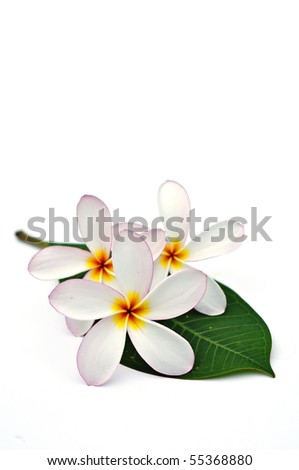 White Plumeria flowers with leaf on white background