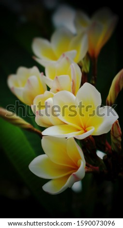 White Plumeria Frangipani flower, alao known as Lei flower. The deep green, long, leathery leaves grow in dense clumps at the tips of its branch