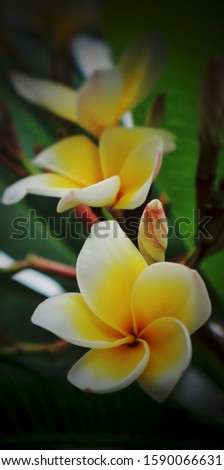 White Plumeria Frangipani flower, also known as Lei flower. The deep green, long, leathery leaves grow in dense clumps at the tips of its branch