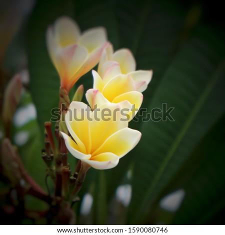 White Plumeria Frangipani flower, also known as Lei flower. The deep green, long, leathery leaves grow in dense clumps at the tips of its branch.