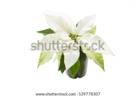 White poinsettia (Euphorbia pulcherrima) plant on white background