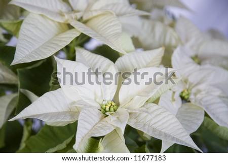 White poinsettia flower