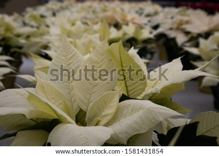 White Poinsettia Flowers at Christmas Market