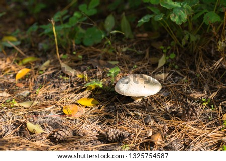 white poisonous mushroom on a belt in the forest #1325754587