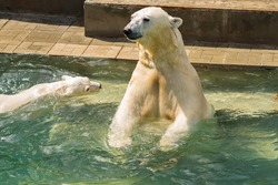 White polar bear at the zoo in a pool of water