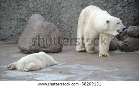 White polar bears family big and little