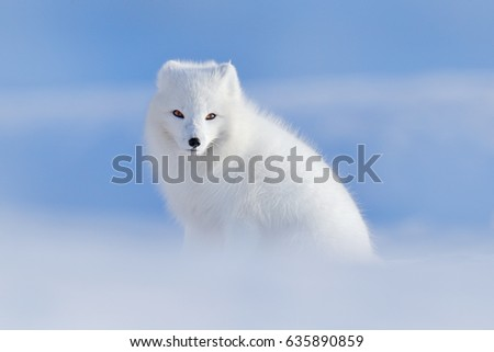 Stock Photo White polar fox in habitat, winter landscape, Svalbard, Norway. Beautiful animal in the snow. Wildlife action scene from nature, Vulpes lagopus, in the nature habitat.