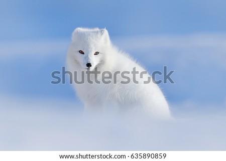 Stock Photo White polar fox in habitat, winter landscape, Svalbard, Norway. Beautiful animal in the snow. Wildlife action scene from nature, Vulpes lagopus, in the nature habitat.