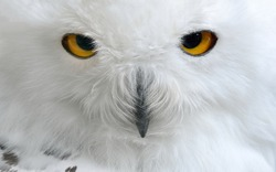 white polar owl close-up