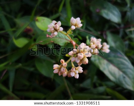white Polygonum chinense flowers