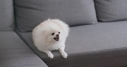 White pomeranian dog bark on sofa