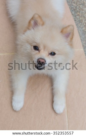 white pomeranian dog happy smile, cute pets friendly in home