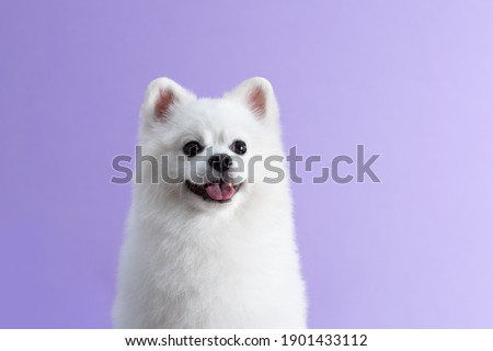 White Pomeranian dog sitting among purple background. Cute little spitz. Place for text Stock foto ©