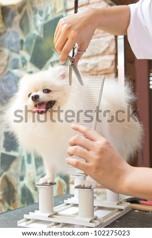 white pomeranian is cutting