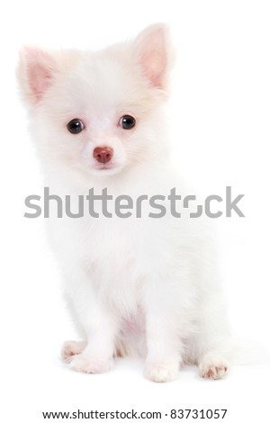 White pomeranian spitz puppy in studio - stock photo
