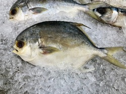 White pomfret on ice to control temperature keep fish fresh and reduce salmonella