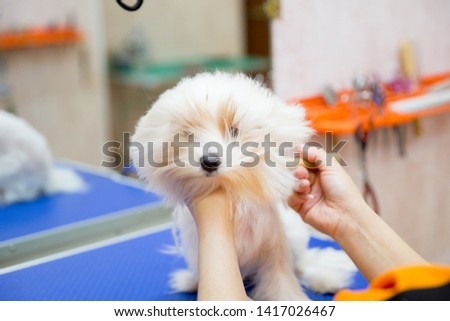 White poodle at grooming salon. Grooming animals, grooming, drying and styling dogs, combing wool. Grooming master cuts and shaves, cares for a dog.