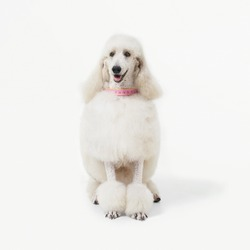 White poodle dog well grooming sitting on white background.