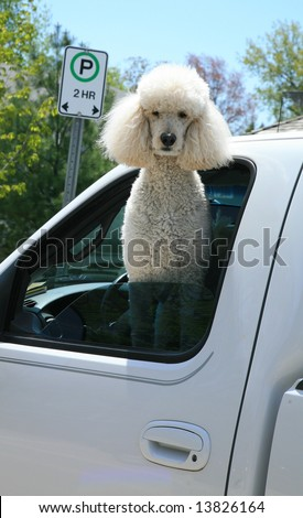 White poodle in a truck window