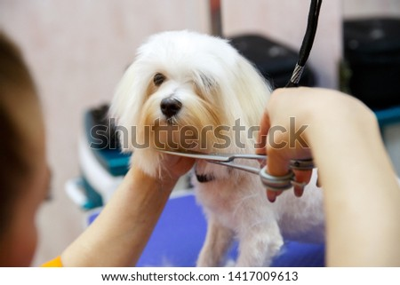 white poodle in the grooming salon, get a haircut/ Grooming animals, grooming, drying and styling dogs, combing wool. Grooming master cuts and shaves, cares for a dog.
