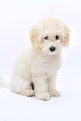white Poodle. Portrait on a white background