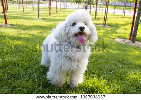 White poodle with a lot of hair looking at the camera and sticking out its tongue