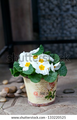 white primula flowers in vintage pot