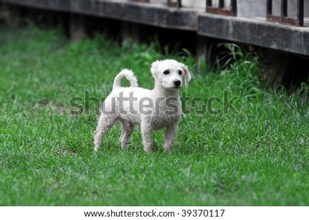 White Puppy - stock photo