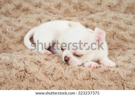 White puppy of Chihuahua sleeps on beige pet bed