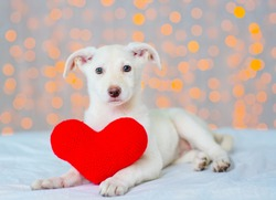 White puppy sitting in an embrace with a big plush heart
