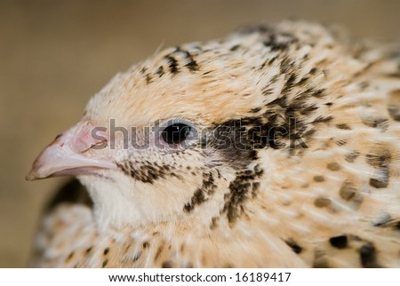 White Quail head with blurred background