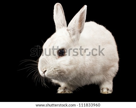 White rabbit isolated on a black background
