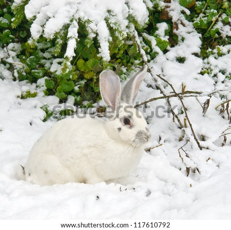 White rabbit lies under a fir