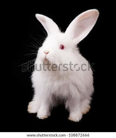 White Rabbit on a black background