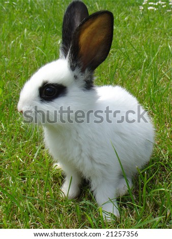 White rabbit on a meadow