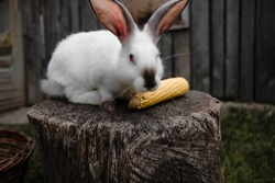 White rabbit on a wooden log gnaws corn cobs.in the courtyard.side view