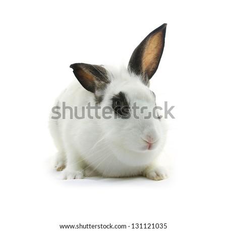 white rabbit on white background