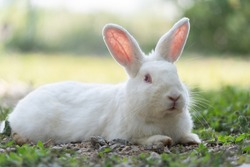 White rabbit outdoors.Close up bunny rabbit in agriculture farm.Rabbits are small mammals in the family Leporidae